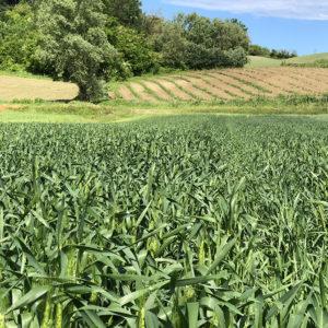 Frumento Tenero Piemonte - Farina ViVa